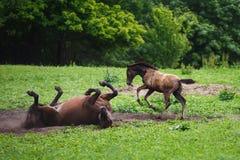 Cavallo del puledro con sua madre Fotografie Stock
