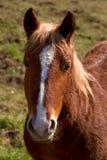 Cavallo del ritratto Fotografia Stock
