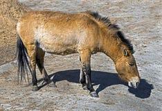 Cavallo del ` s di Przewalski Immagine Stock