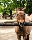 Cavallo del ` s di Przewalski dietro un recinto di legno Immagini Stock Libere da Diritti