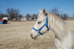 Cavallo dell'Arabo dell'Oklahoma Immagine Stock