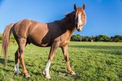 Cavallo dell'arabo della castagna immagini stock