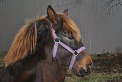 Cavallo dell'azienda agricola di Brown Immagini Stock