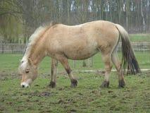 Cavallo dell'azienda agricola di Brown nel profilo Immagini Stock