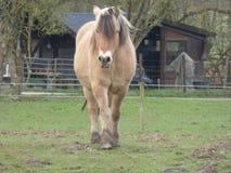 Cavallo dell'azienda agricola di Brown in un prato Immagine Stock