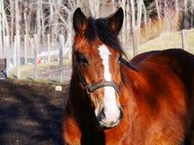 Cavallo dell'azienda agricola in natura Fotografia Stock