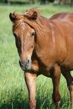 Cavallo dell'incrocio Fotografia Stock