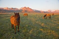 Cavallo dell'Islanda Immagini Stock