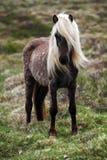 Cavallo dell'Islanda Fotografia Stock Libera da Diritti