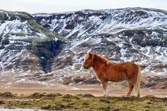 Cavallo dell'islandese di Brown fotografia stock libera da diritti