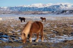 Cavallo dell'islandese di Brown Il cavallo islandese ? una razza del cavallo sviluppata in Islanda Un gruppo di cavallini islande fotografia stock libera da diritti
