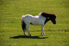 Cavallo dell'isola Fotografia Stock Libera da Diritti