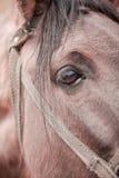Cavallo dell'occhio Fotografia Stock Libera da Diritti
