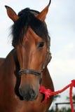 Cavallo della castagna Immagini Stock Libere da Diritti