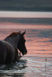 Cavallo della castagna che si leva in piedi nell'acqua Immagini Stock Libere da Diritti