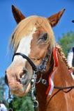 Cavallo della castagna con una rosetta dei vincitori immagine stock libera da diritti