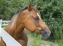Cavallo della castagna nel profilo Fotografie Stock Libere da Diritti