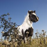 Cavallo della miniatura di Falabella Immagini Stock Libere da Diritti