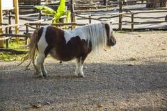 Cavallo della miniatura di Falabella Immagini Stock
