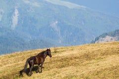 Cavallo della montagna Fotografie Stock