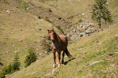 Cavallo della montagna Fotografia Stock
