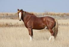 Cavallo della steppa Fotografia Stock