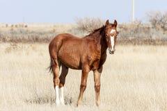 Cavallo della steppa Immagini Stock