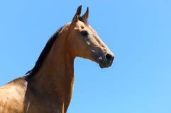 Cavallo di Akhalteke immagini stock