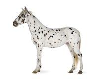 Cavallo di Appaloosa immagini stock libere da diritti