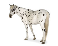 Cavallo di Appaloosa Immagini Stock