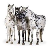 Cavallo di Appaloosa Fotografie Stock Libere da Diritti