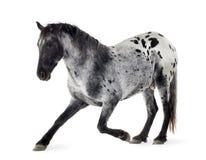 Cavallo di Appaloosa Fotografia Stock