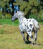 Cavallo di Appaloosa fotografia stock libera da diritti