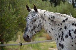 Cavallo di Appaloosa in un recinto chiuso immagine stock