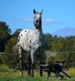 Cavallo di Appaloosa in un recinto chiuso fotografia stock libera da diritti
