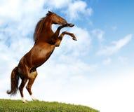 Cavallo di baia Immagini Stock Libere da Diritti