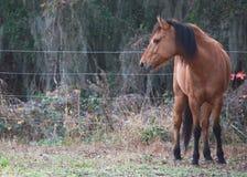 Cavallo di baia Fotografia Stock Libera da Diritti