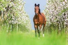 Cavallo di baia fotografie stock libere da diritti