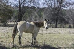 Cavallo di baia biondo dietro un recinto immagini stock
