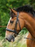 Cavallo di baia in briglia Fotografia Stock