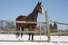 Cavallo di baia caldo del sangue che sta nella scena rurale del recinto per bestiame di inverno Fotografia Stock Libera da Diritti