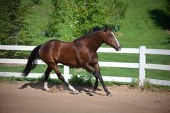 Cavallo di baia che Cantering in anello Fotografia Stock Libera da Diritti