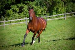 Cavallo di baia che cantering giù la collina Immagine Stock
