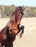 Cavallo di baia che si eleva nel campo Fotografia Stock