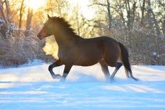 Cavallo di baia che trotta sulla neve nell'orario invernale Immagine Stock