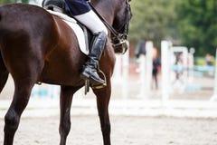 Cavallo di baia con il cavaliere ai concorsi di dressage Fotografia Stock
