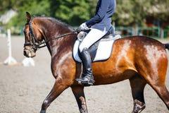 Cavallo di baia con il cavaliere ai concorsi di dressage Immagini Stock Libere da Diritti