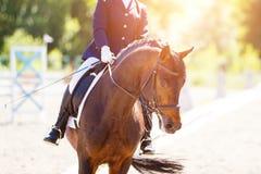Cavallo di baia con il cavaliere ai concorsi di dressage Fotografia Stock Libera da Diritti