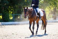 Cavallo di baia con il cavaliere che cammina sul concorso di dressage Immagini Stock Libere da Diritti