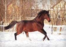 Cavallo di baia corrente nel recinto chiuso della neve Immagine Stock
